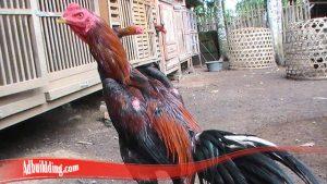 Baiknya Rawat Ayam Sebelum Akan Bertanding
