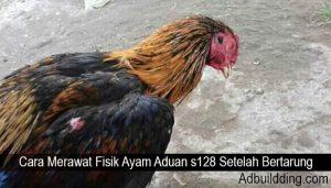 Cara Merawat Fisik Ayam Aduan s128 Setelah Bertarung