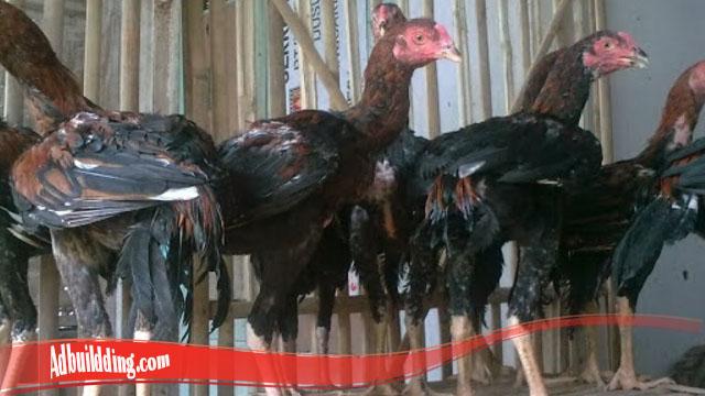 Jangan Sampai Salah Berikut Trik Ternak Ayam Bangkok