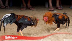 Kenali Cara Mudah Kembalikan mental Ayam S128