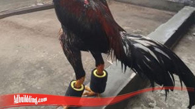 Kenali Cara Mudah Tingkatkan Otot Kaki Ayam SV388
