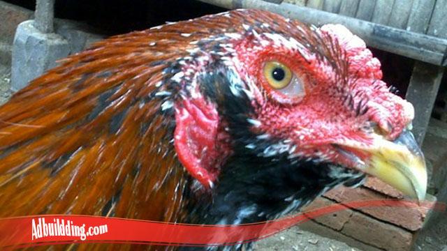 Kenali Ketangguhan Dari Ayam Brewok S128