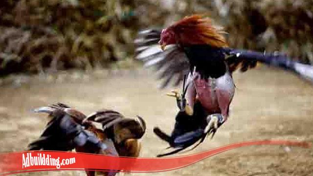 Mari Mengenali Pukulan Bongkar Ayam Bangkok