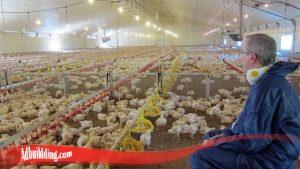 Terlebih Dahulu Kenali Sifat Tingka Dan Karakter Ayam