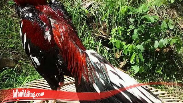 Terlebih Dahulu Tahu Cara Tumbuhkan Bulu Ayam SV388