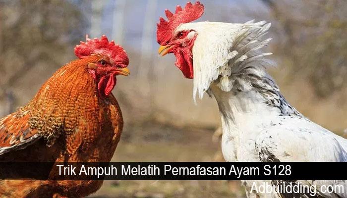 Trik Ampuh Melatih Pernafasan Ayam S128