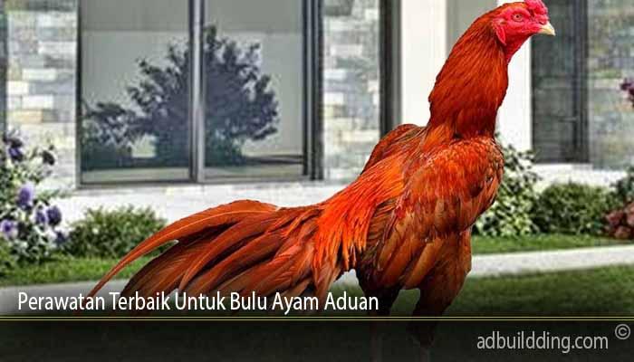 Perawatan Terbaik Untuk Bulu Ayam Aduan